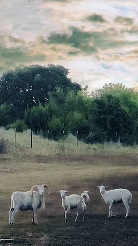 A few of our ewes and with Rambler.