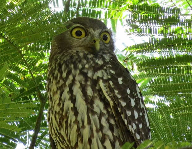Barking Owl - Creates noises that you hear at night
