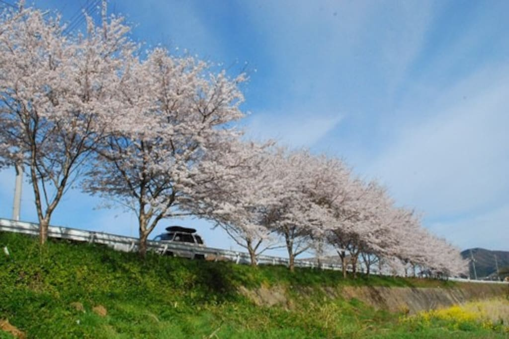 宍粟の桜/Cherry Blossoms in Shiso