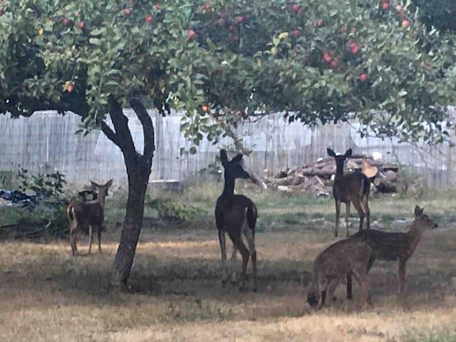 Neighborhood deer family
