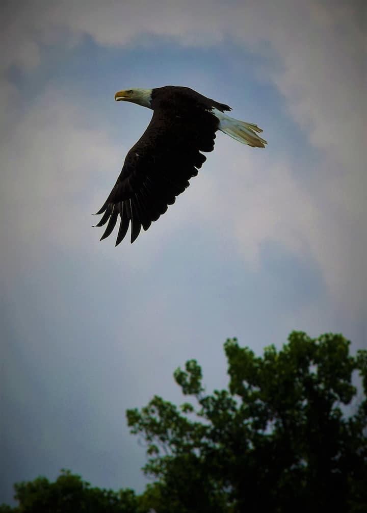 bald eagle witnessed July 4, 2018