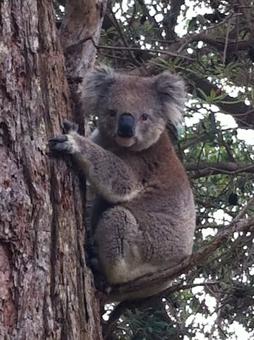 We have our own family of koalas in the garden.