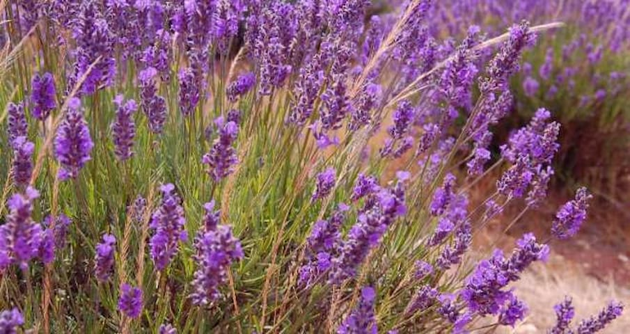 Our Lavender by the apartment,, If rosemary is for the spirit then lavender is for the soul. - anonymous