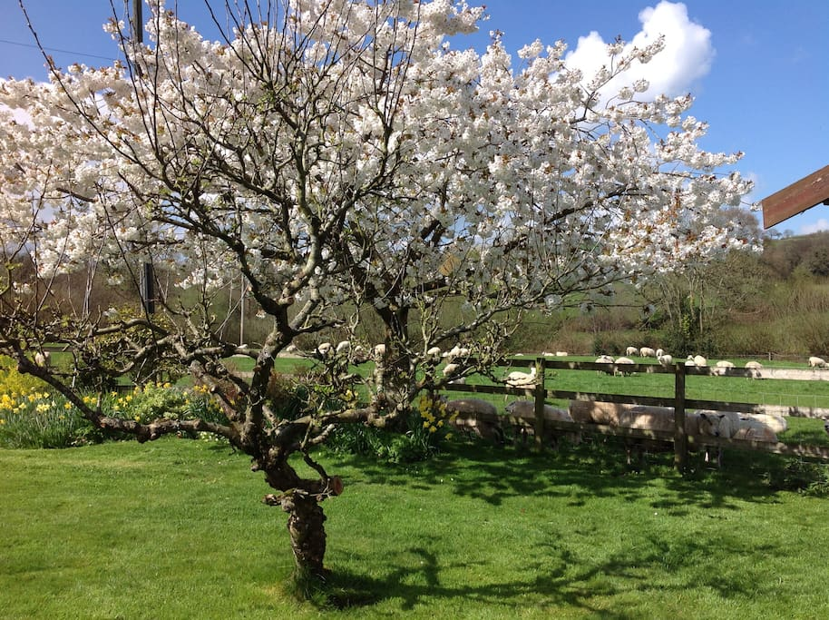 Cherry tree in Garden