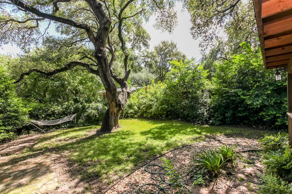 One of Austin's famous old Live Oak trees, over 300 years old! It is great for climbing and admiring!