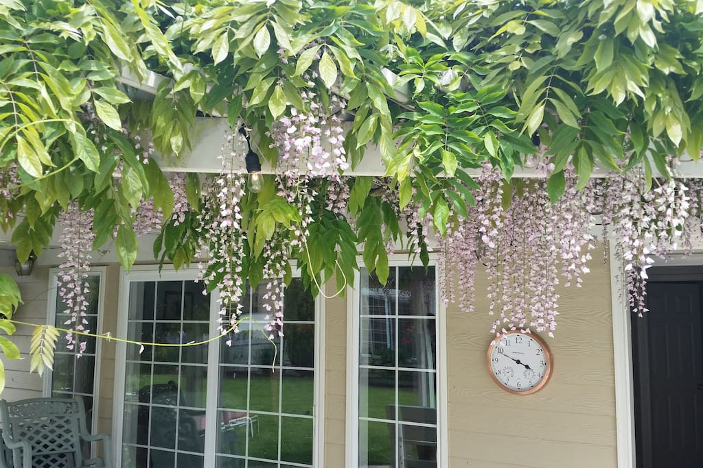 Wysteria  blooming in spring