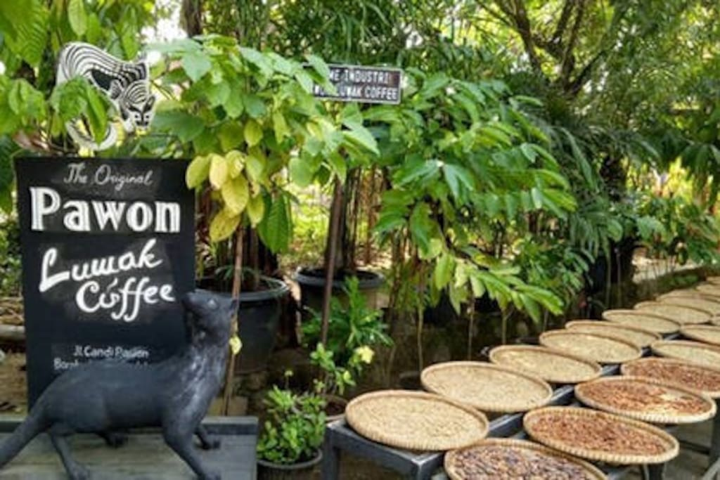 We have a friendly guides who will explain the process of making Luwak coffee (civet coffee) to every guest of our guesthouse.