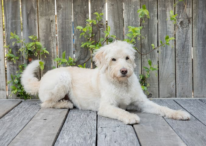 Harry the Labradoodle This is her home and she loves Air BnB guests visiting and scratching her tummy