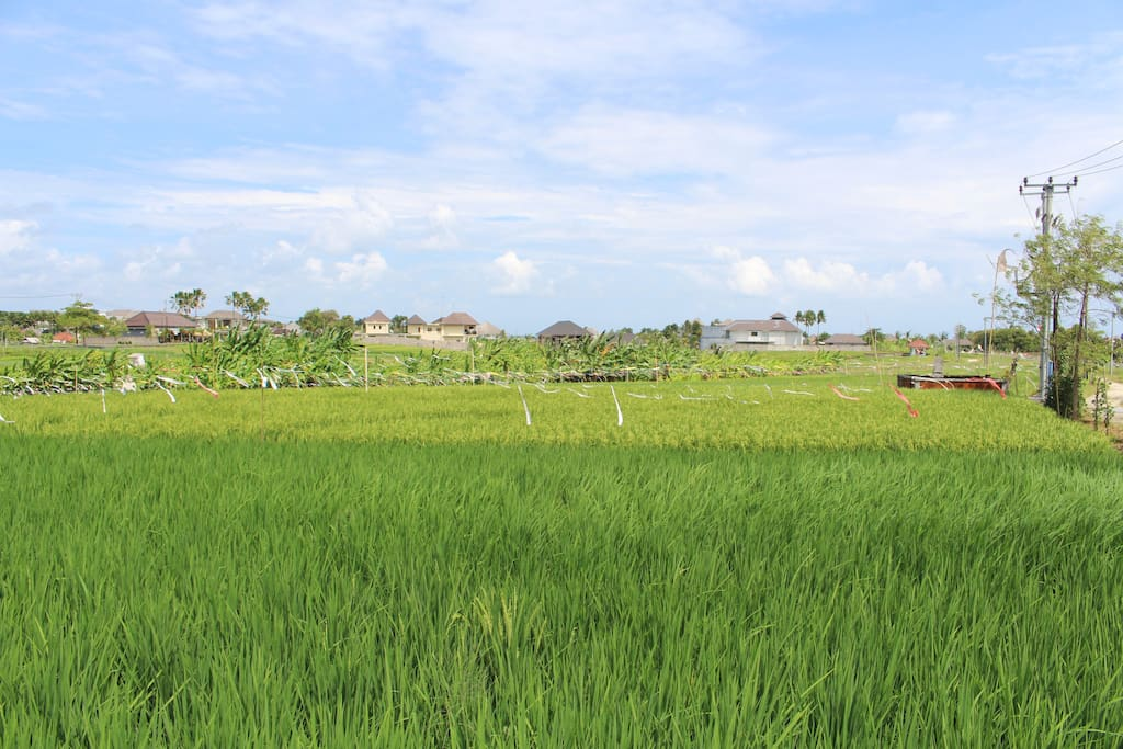 the rice paddies outside our front door