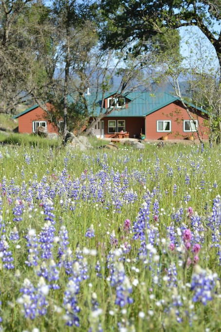 Lupines blooming just in time for the Butterfly Festival!