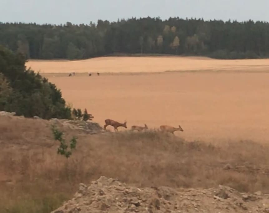 Wild animals in the fields outside the house.