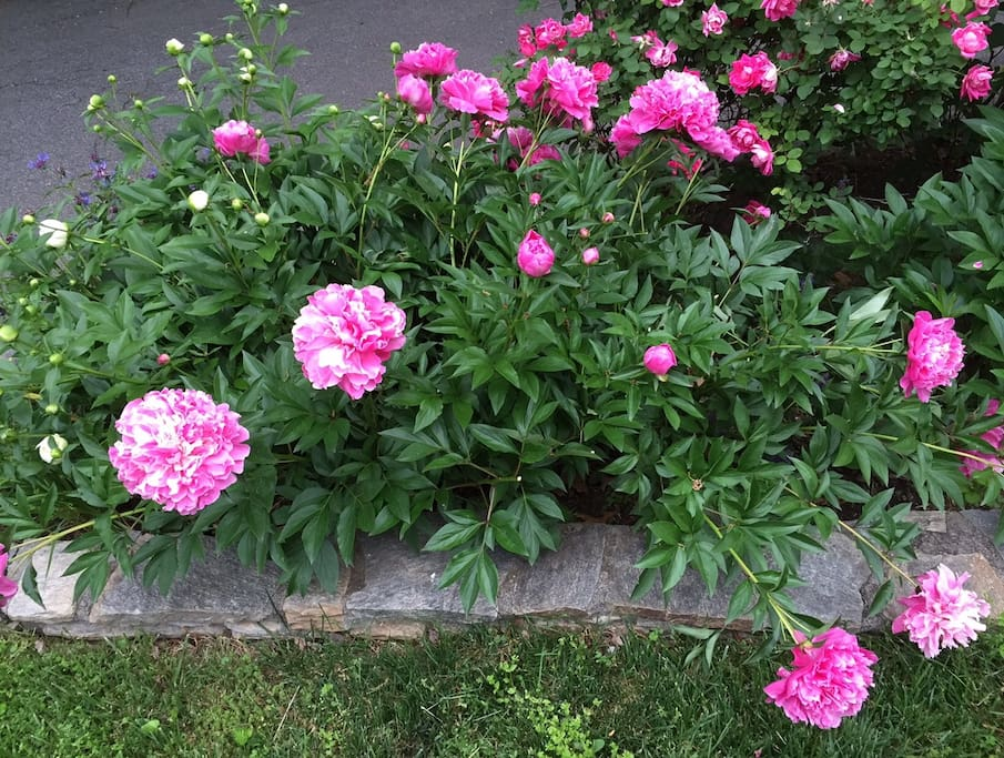 Peonies by the driveway entrance