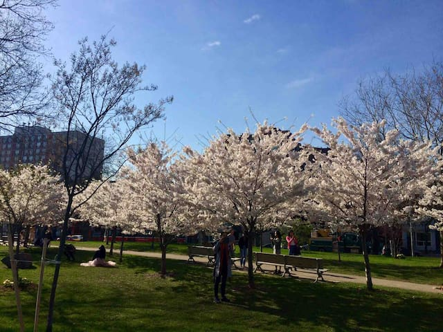 Trinity Bellwood's Park at the height of cherry blossom season.