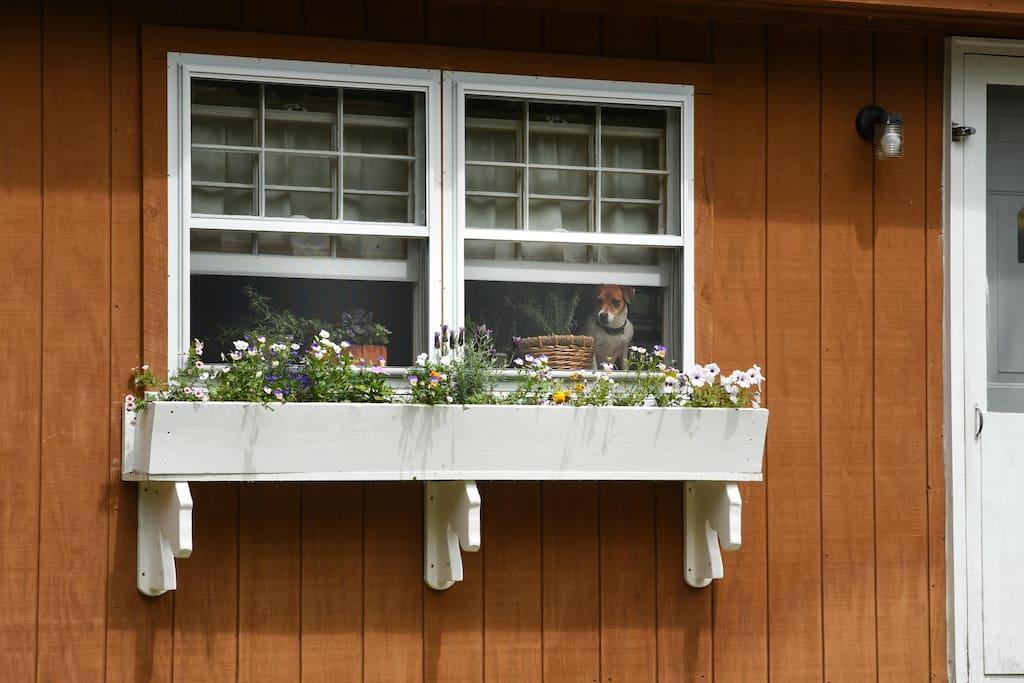 A little Jack Russel peeking through the window!