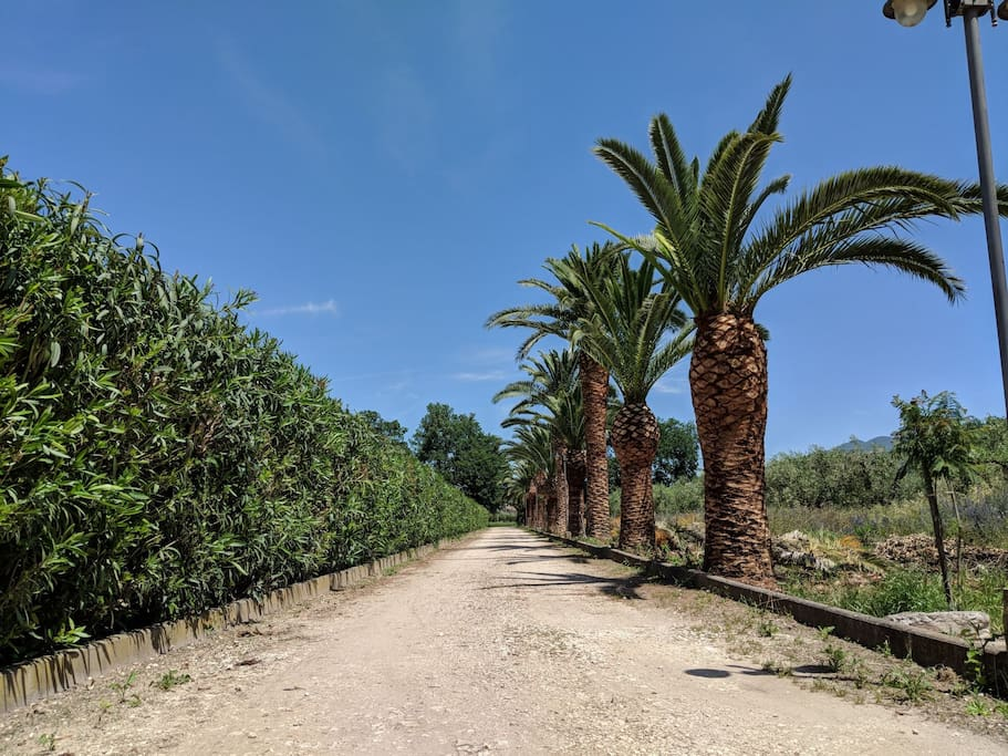 Driveway with Pal trees - Viale d'ingresso