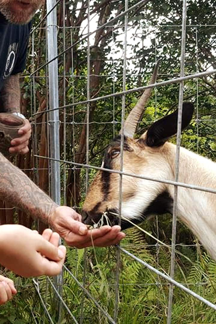 Goats LOVE Alfalfa treats!