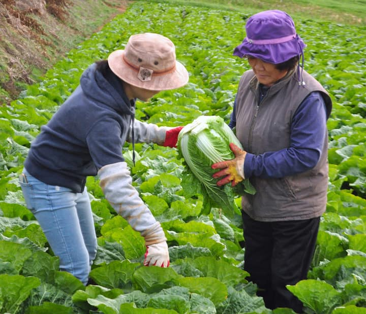 Harvesting cabbage for my cooking class!