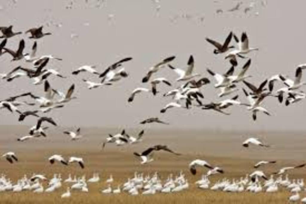 Octobre Novembre    Oies / Sanctuaire d'Oiseaux.