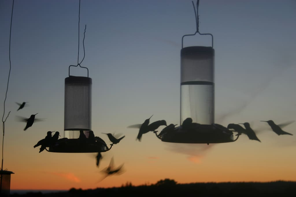 Hummingbirds feeding at sunset.  They are here all year.