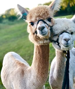 Alpaca My Bags! Artillery Creek Alpacas
