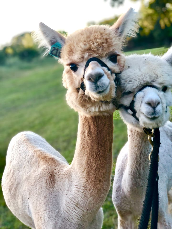 The most photogenic alpacas in the world, if I say so myself!! Ernie and Casper are just a small part of our herd but have a huge place in our hearts.