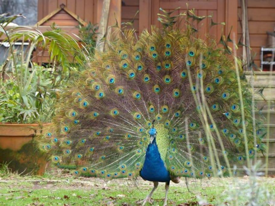 Beautiful Mr. Peacock