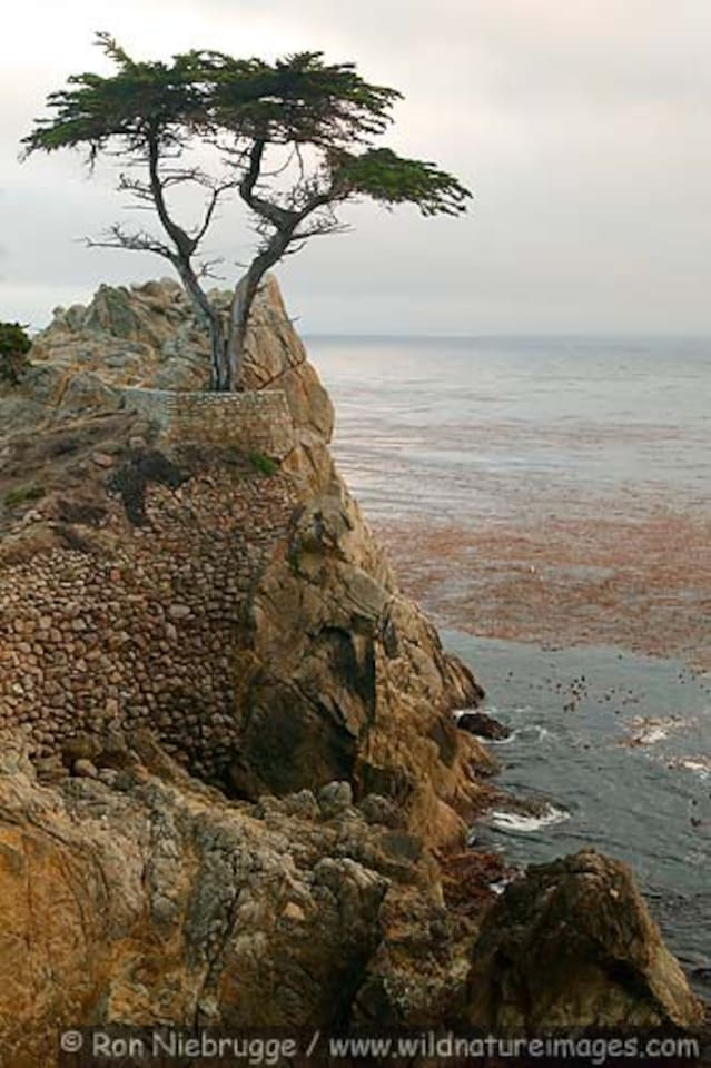 The  Loan Cypress on the 17 mile Drive