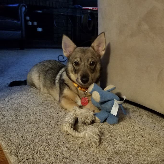 Bear, our Swedish Vallhund, is excited to meet you!