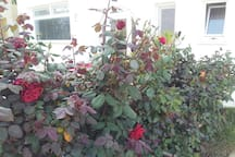 Rose bushes at the entrance