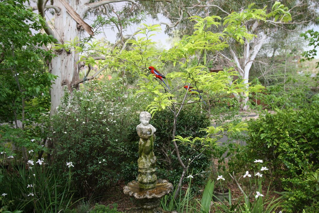Crimson Rosellas in the front garden.