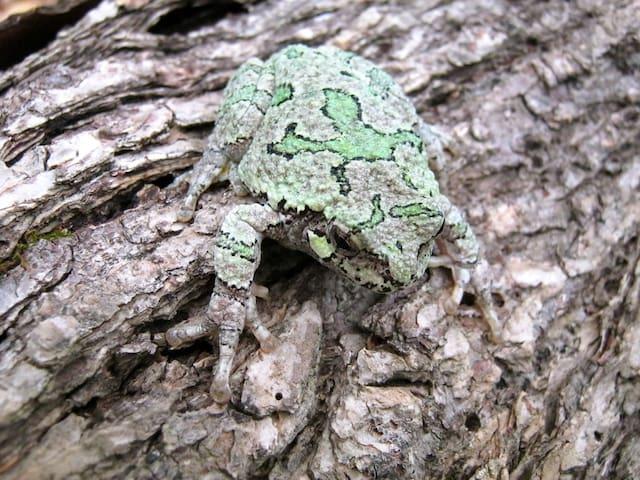 Gary tree frog