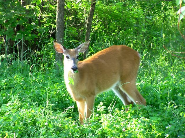 Deer visiting