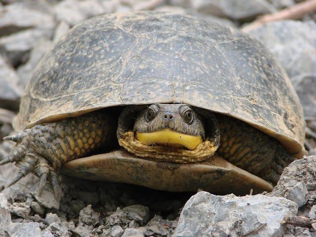 Adult Blandings turtle