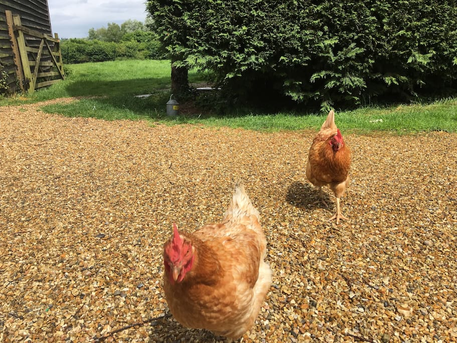 The hens will be sure to come and say hello when you arrive! We like chicken friendly dogs!