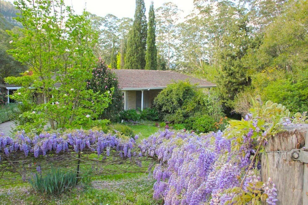 The wisteria covers the fences in spring