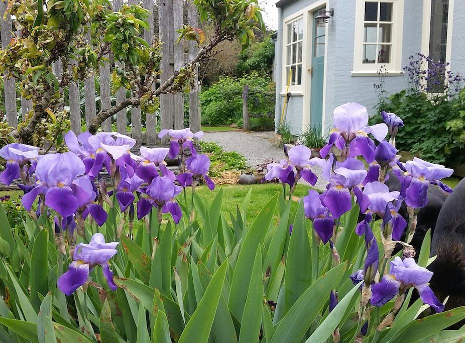 Beautiful spring irises