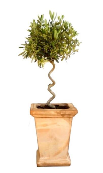 Elidaki (small olive tree)