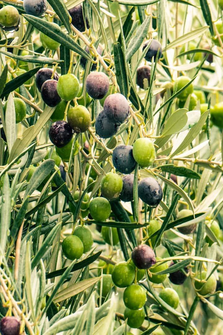 Our DOP olives