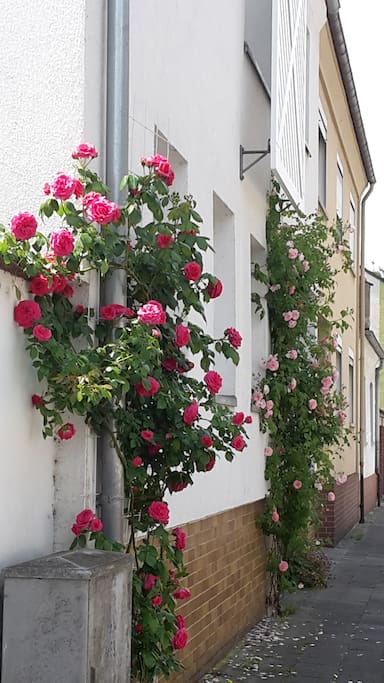 view from the street, roses