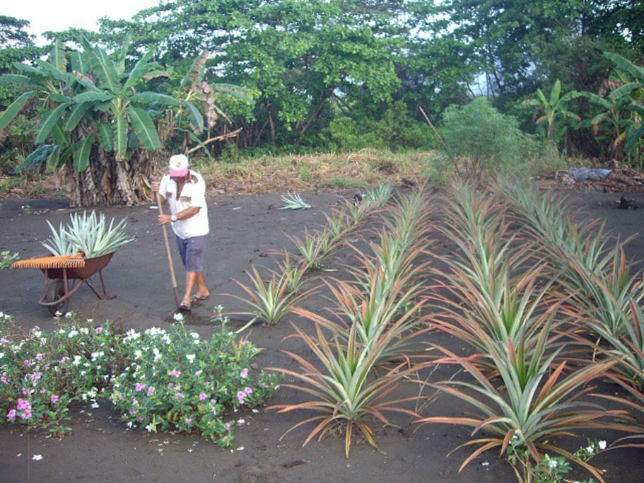 Organic pineapple grown on site