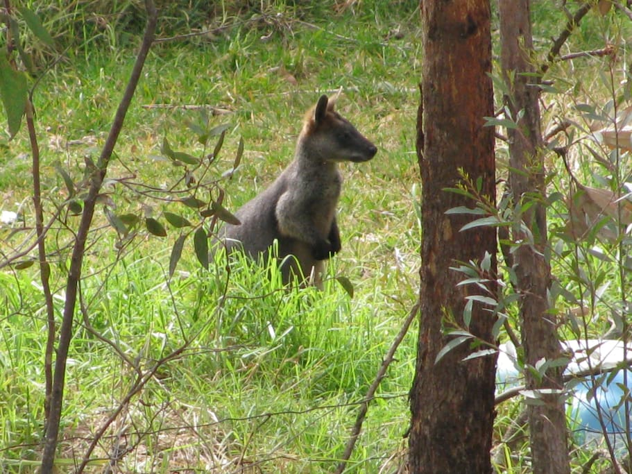 """'Our"""" Wallaby - who comes to our property for a visit every so often."""
