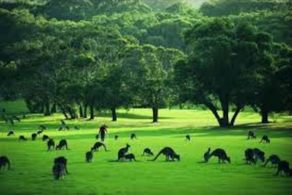 The kangaroos enjoy visiting the Anglesea Golf Course.