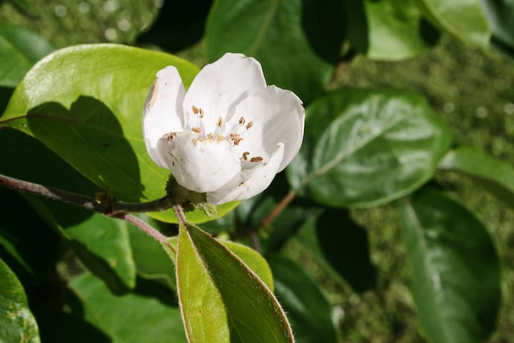Quince blossom in the orchard