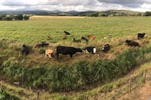 The cows like to visit from time to time