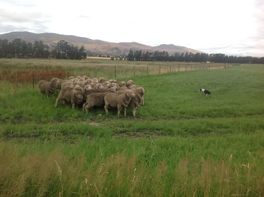 Working merino sheep farm.