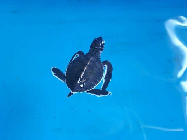 Pantai Kerachut Beach Turtle