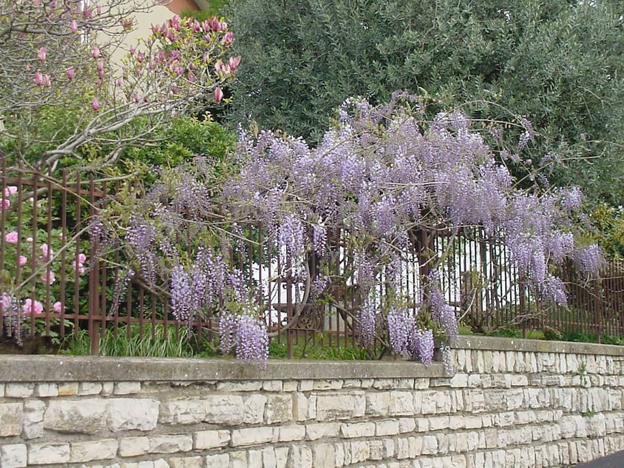 La fioritura del glicine in primavera