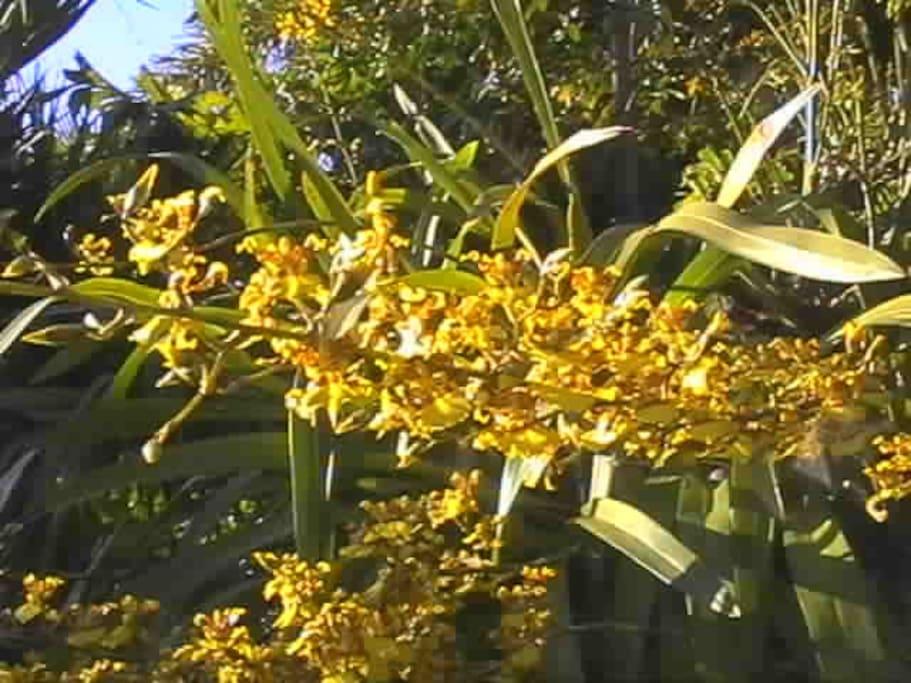 une orchidée:les pluies d'or et c'est donc le nom du meublé