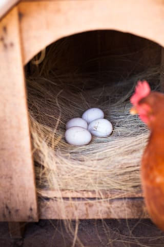 Collect fresh eggs from our hen house in the morning