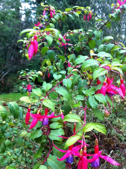Mild Bellingham climate--so many beautiful flowers!